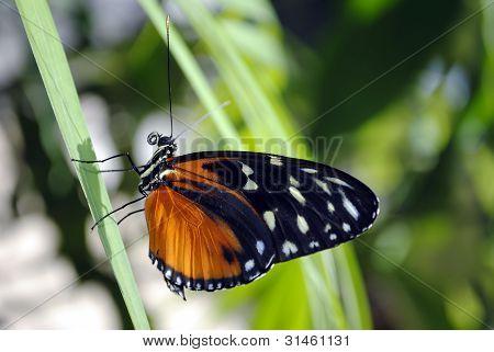 Borboleta (Heliconius hecate)