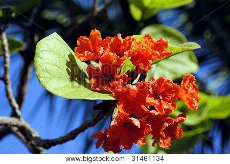 Cordia sebestena ORANGE GEIGER TREE
