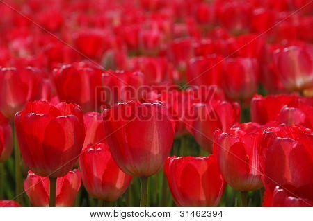 Veld Rode tulpen