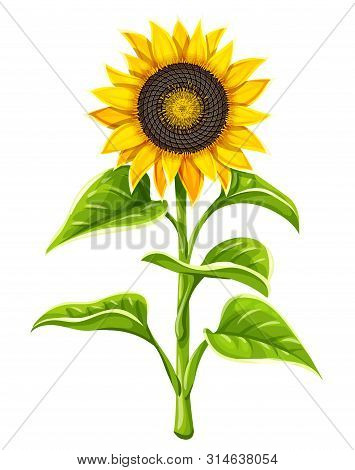 Sunflower Agricultural Plant Head With Oil Seeds And Green Leaves Isolated On White Background. Vect