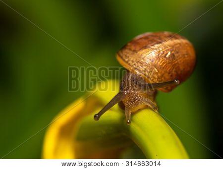 Burgundy Snail Roman Snail On A Plant Twig Macro Close Up Image