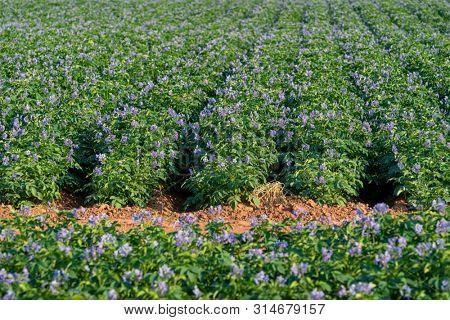 Purple flowering potatoes growing in a field in rural Prince Edward Island, Canada.