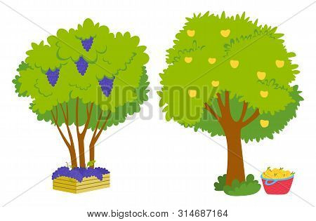 Grapes Growing On Green Bunch With Fresh Vibrant Leaves And Yellow Apples On Tree, Basket With Harve