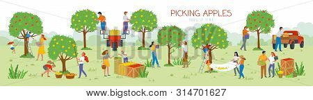 People Picking Apples In Garden Vector, Man And Woman Gathering Fruits From Trees. Trucks And Cars F