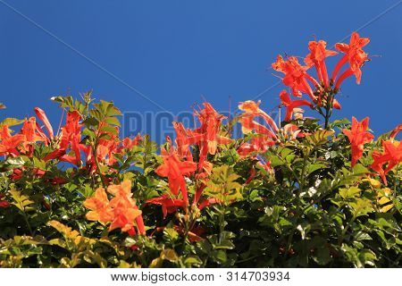 Beautiful And Colorful Orange Bignonia Capensis Flowers In The Garden Under Blue Sky