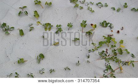Small Green Grass Plants On Beach Sand