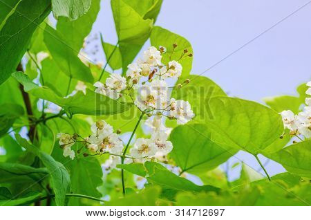 Blooming Catalpa Tree. White Flowers On A Background Of Green Leaves.