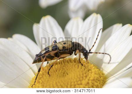 Longhorn Beetle (strangalia Maculata) On Anthemis Tinctoria 'e.c.buxton'