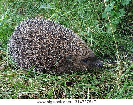 Closeup Hedgehog In Green Grass . Cute Hedgehog Face With Beady Eyes. Erinaceus Europaeus. Nocturnal