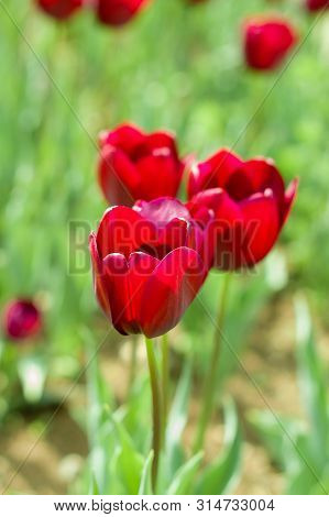 Blooming Tulip Fields In Netherlands, Flower With Blurrred Colorful Tulips As Background. Selective