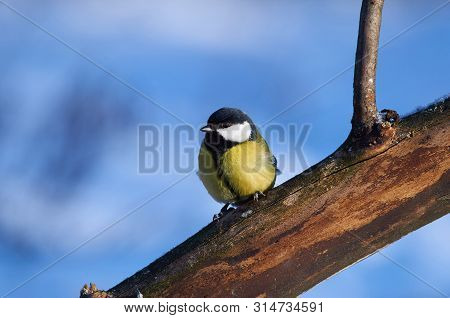 Bird - Great Tit (parus Major) Sits On A Thick Branch In The Winter Forest On The Background Of Snow