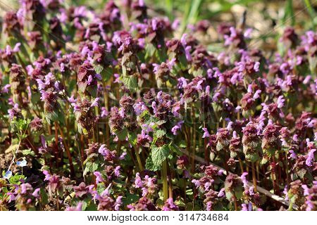 Bugleweed Or Ajuga Or Ground Pine Or Carpet Bugle Or Bugle Densely Planted Small Herbaceous Flowerin