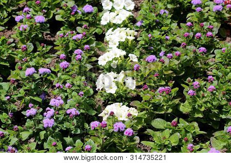 Densely Planted Floss Flower Or Ageratum Houstonianum Or Flossflower Or Bluemink Or Blueweed Or Puss