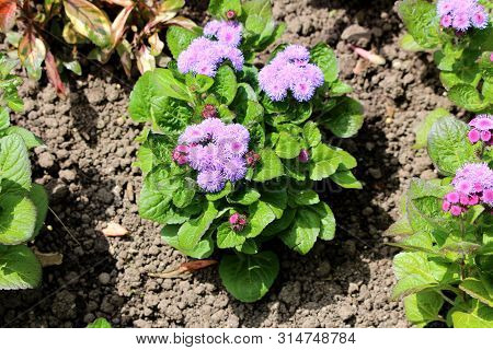 Floss Flower Or Ageratum Houstonianum Or Flossflower Or Bluemink Or Blueweed Or Pussy Foot Or Mexica