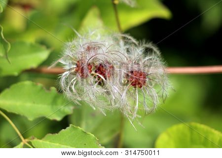 Old mans beard or Clematis vitalba or Travellers joy climbing shrub plant with multiple long silky hairy appendages growing on single stem surrounded with light green leaves planted in local garden on warm sunny spring day poster