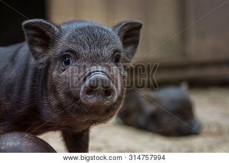 Black Mini Pig Of The Vietnamese Breed On Sty. Cute Little Black Piglet. Funny Black Piglet On A Far