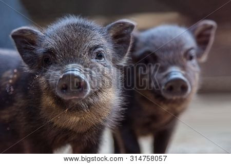 Cute Little Black Piglet. Funny Black Piglet On A Farm Looking At The Camera With Curiosity. A Group
