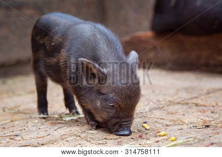 Black Mini Pig Of The Vietnamese Breed On Sty. Curious Little Piglet On A Farm Looking At The Camera