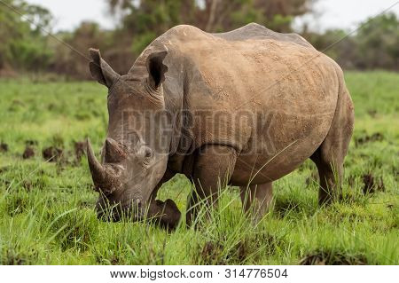 White Rhinoceros Or Square-lipped Rhinoceros, Ceratotherium Simum, South Africa