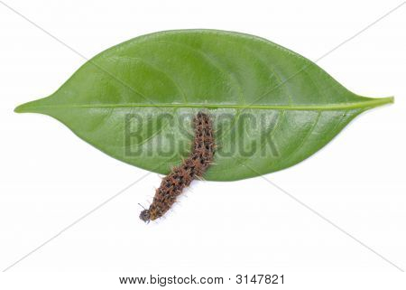 Brown Fire Caterpillar and leaves on white . poster