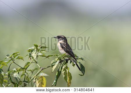 Siberian Stonechat, Saxicola Maurus, Wildlife Of Saswad In Maharashtra