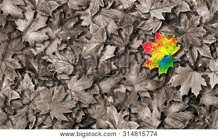 Colors Of Rainbow. Color Concept In Nature. Bright Colorful Autumn Maple Leaf. Copy Spaces.