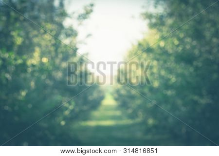 Blurred Trees Perspective Background. Blurred Image Of Trees Background. Agricultural Trees Backgrou