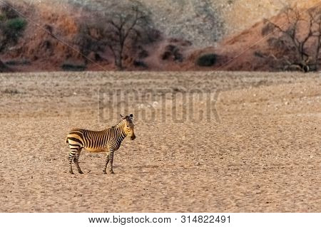 A Hartman Mountain Zebra Is Reluctantly Approaching A Waterhole On The Khomas Region Of Nambia.