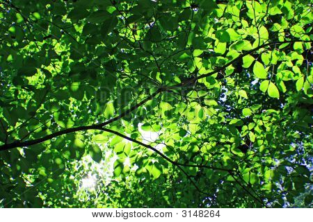 Transparent Green Leaves
