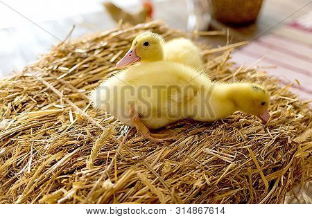 two little yellow ducklings on hay defenseless poster