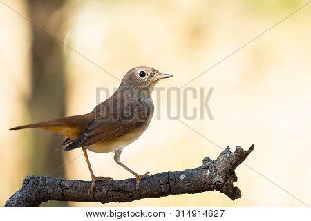 Luscinia Megarhynchos Or Ruisenor Comun Perched On A Branch