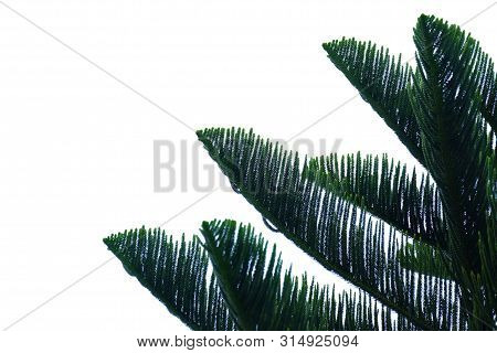 Pine Leaves With Branches On White Isolated Background For Green Foliage Backdrop