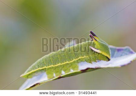 Close view of Arbutus Unedo caterpillar Foxy Emperor (Charaxes jasius). poster
