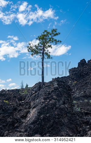 Lone Tree Grows In Black Volcanic Rock In Newberry Volcano National Monument And Lava Lands