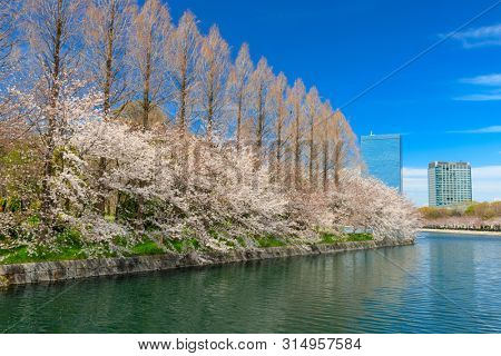 Cityscape around the Osaka castle, the river bank is flowered by sakura cherry trees blooming, Japan