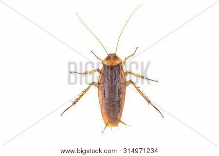 Action Image Of Cockroaches, Cockroaches Isolated On White Background.  High-resolution Cockroach Im