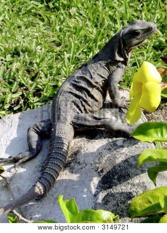 Iguana Basking In The Sun