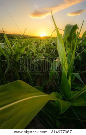 Young Green Corn Growing On The Field At Sunset. Young Corn Plants. Corn Grown In Farmland, Cornfiel