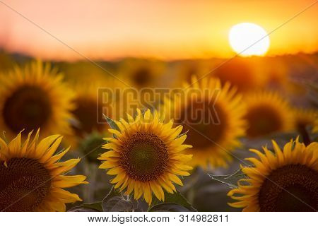 Sunflower Field Landscape With The Sun. Field Of Blooming Sunflowers On A Summer Sunset. Sunflower N
