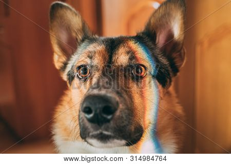 Reflection Of A Multi-colored Rainbow On The Face Of A Dog. Mixed-breed Dog Lying On Floor Indoor.