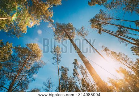 Looking Up In Beautiful Pine Coniferous Forest Trees Woods Canopy. Bottom View Wide Angle Background