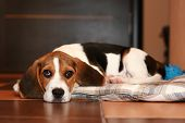 Beagle puppy has a rest on a rug (Shallow DOF) poster