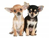 Two funny puppies chihuahua (2 months) sit on a white background poster