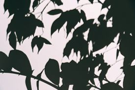 Abstract Blurred Shadow Overlay Effect On White Wall Of Branch With Leaves. Black And White Mock Up