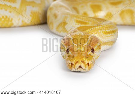 Close Up Of Young Adult Burmese Python Aka Python Bivittatus Snake In Albino Color. Isolated On Whit