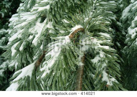 Hoar- Frost On Frozen Branch Of Pine 1