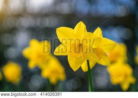 Close Up Daffodils Flowers Blooming In The Spring,  Yellow Flowers Against Blurry Natural Background