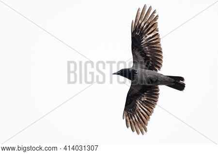 Crowlarge Hooded Crow (corvus Cornix) Flying Over White White Background. Black And Grey Feather Gli
