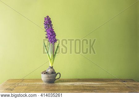 Bright Claret Colorful Hyacinth Flowers Blooming. Holiday Bouquet.