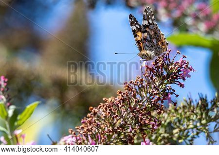 A Portrait Of A Thistle Butterfly, Also Known As A Painted Lady, Cosmopolitan Or Vanessa Cardui. The